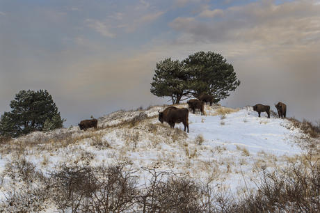 Bison in the snow. Photo: Ruud Maaskant
