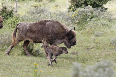 Bisoncalf with mother. Photo: Esther Rodriguez