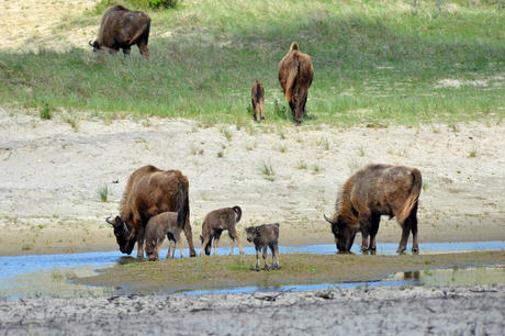4 bison calves. Photo: Hans de Bie