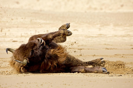 Bison takes sandbath. Photo: Ruud Maaskant