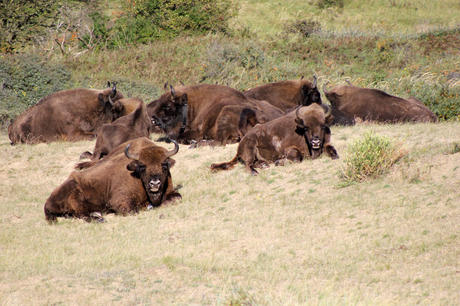 Bison in the sun. Photo: Esther Rodriguez