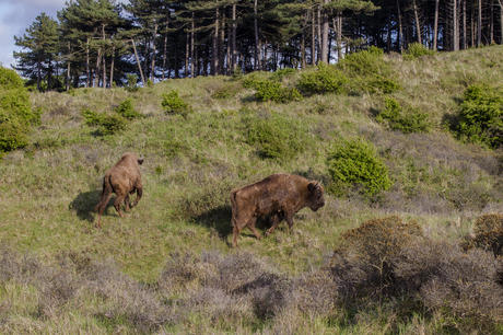 Bison in the Kraansvlak dune area. Photo: Ruud Maaskant