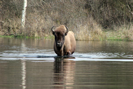 Wisent in het water. Foto: Esther Rodriguez