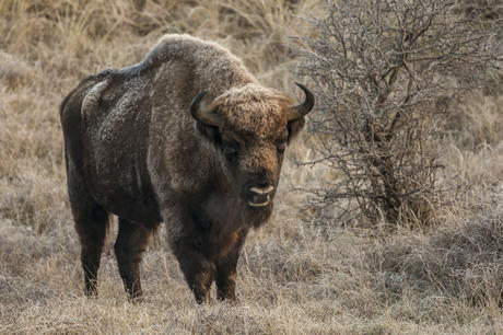 Bison bull. Photo: Ruud Maaskant