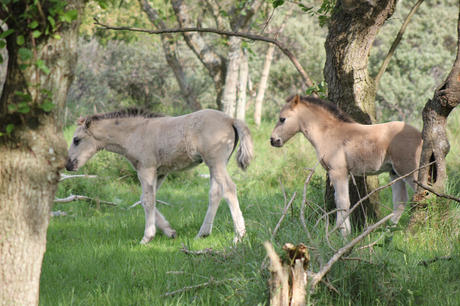 Konik foals. Photo: Esther Rodriguez