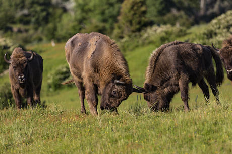 French bulls in Kraansvlak herd. Photo: Ruud Maaskant