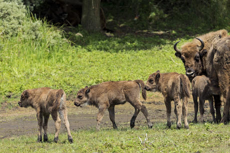 Bison and calves in Kraansvlak. Photo: Ruud Maaskant
