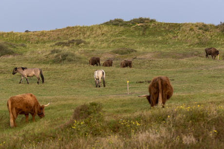 European bison, konik horses and highlanders. Photo: Ruud Maaskant