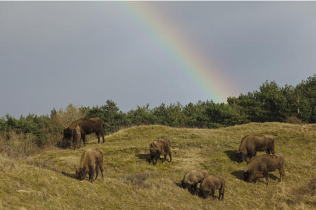 European bison herd Kraansvlak