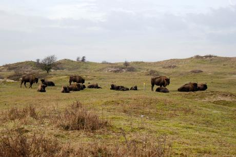 Bison herd at Bison Trail