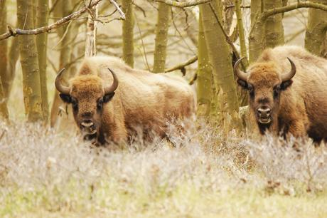 European bison bulls. Photo: Esther Rodriguez