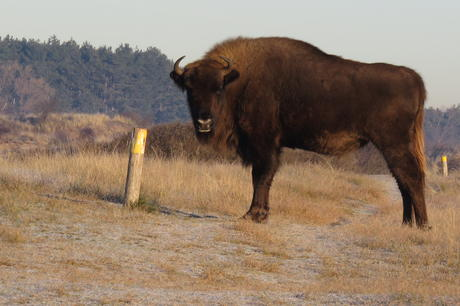 Bison on Bison Trail