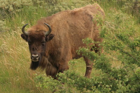 Bison in the Kraansvlak dune area 2009. Photo: Leo Linnartz