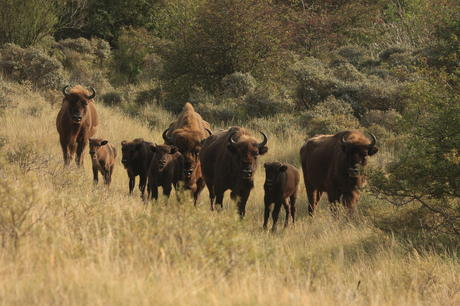 Bison and calves. Photo: Leo Linnartz