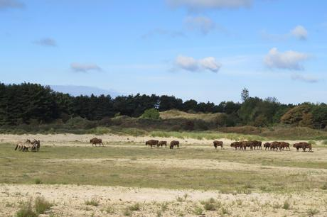 Konik horses and European bison in Kraansvlak. Photo: Louise Prevot