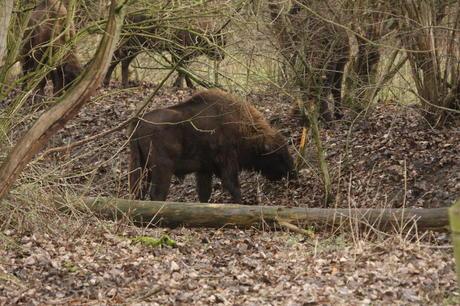 Bison bull Natuurpark Lelystad. Photo: Leo Linnartz