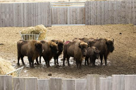 Bison in corral PWN