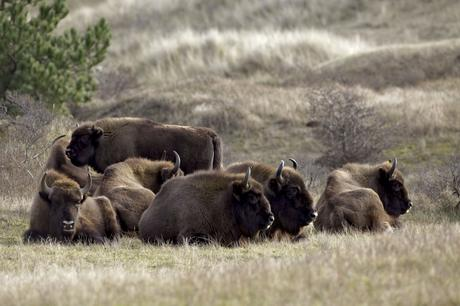 Herd of European bison in Kraansvlak. Picture: Ruud Maaskant