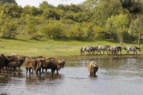European bison and konik horses in Kraansvlak, photo: Ruud Maaskant, PWN