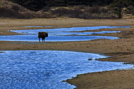 Bison at the water. Photo: Ruud Maaskant