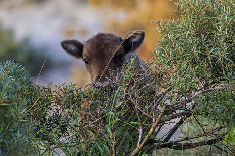 Bisoncalf. Photo: Ruud Maaskant