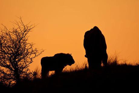 Wisenten in zonsondergang. Foto: Ruud Maaskant