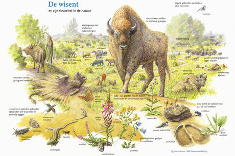 Bison and its key role in nature. Drawing: Jeroen Helmer