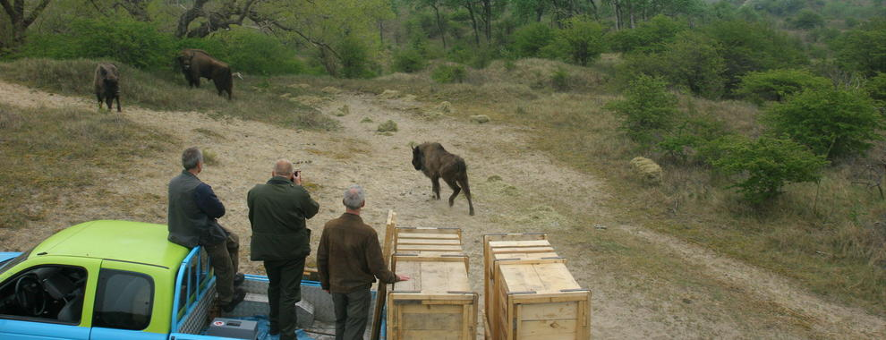 Release of bison. Photo: Leo Linnartz