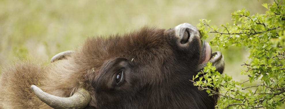 Bison eats hawthorn. Photo: Ruud Maaskant