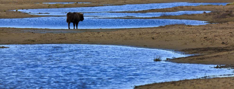 Wisent tussen het water. Foto: Ruud Maaskant