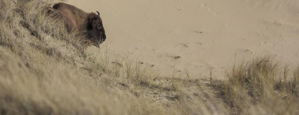 Wisent bij zandverstuiving. Foto: Ruud Maaskant