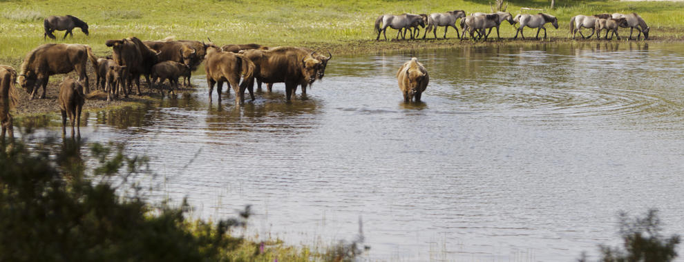 Bison and konikhorses at the water. Photo: Ruud Maaskant
