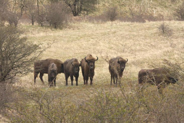Wisenten in het Kraansvlak 2008. Foto: Leo Linnartz