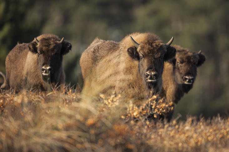 Bison calves in the dunes. Photo: Ruud Maaskant