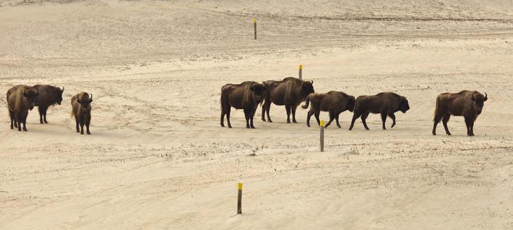 Bison discover Bison trail. Photo: Ruud Maaskant