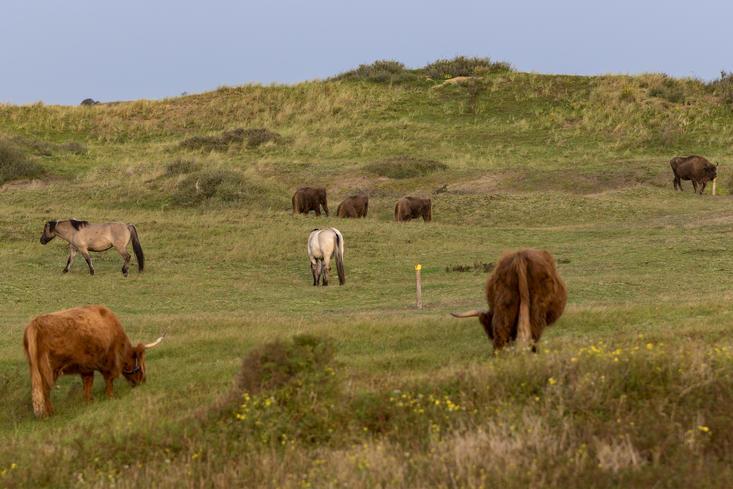 European bison, konik horses and highlanders. Photo: Ruud Maaskant