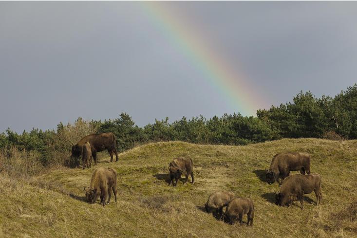 Wisenten met regenboog. Foto: Ruud Maaskant