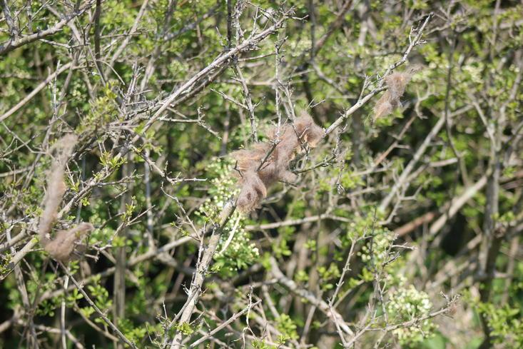Haren van een wisent in een struik