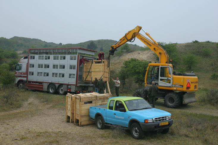 Wisenten arriveren in het Kraansvlak (2007)