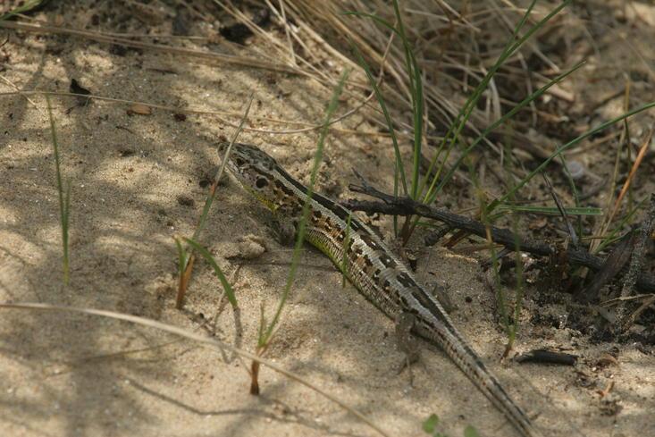 Sand lizard. Photo: Leo Linnartz