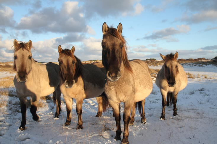Konikhorses. Photo: Leo Linnartz