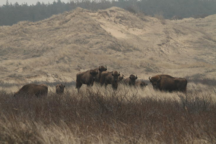 Bison in the Kraansvlak dune area 2011. Photo: Leo Linnartz