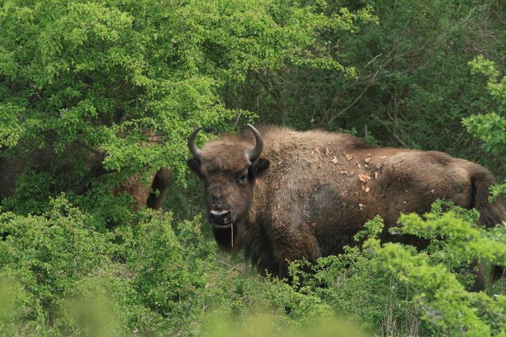 Almost 2 years old bison. Photo: Leo Linnartz