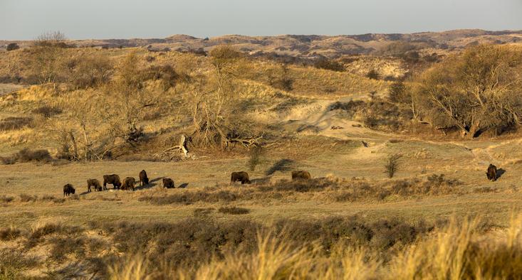 Wisenten in het Kraansvlak, foto: Ruud Maaskant, PWN