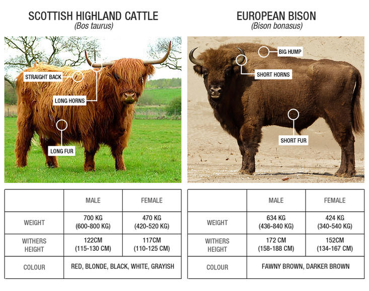 Scottish Highland cattle versus European bison