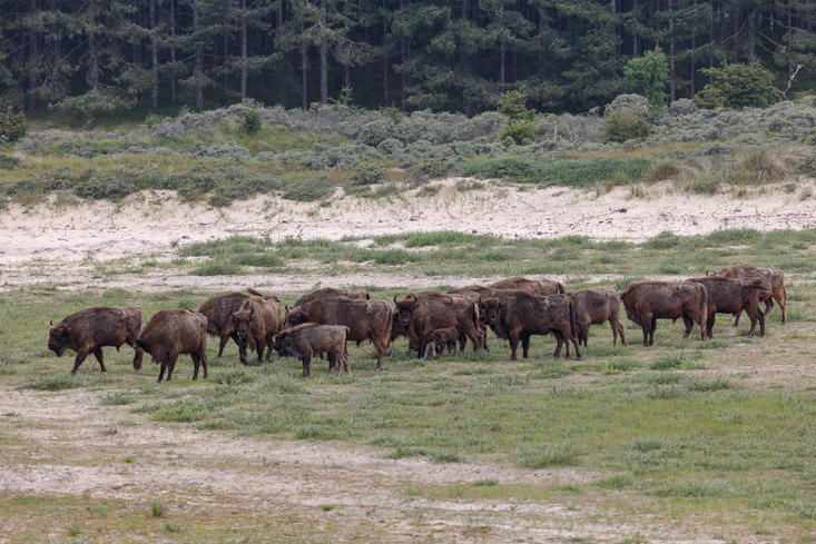 European bison Kraansvlak, Photo: Ruud Maaskant