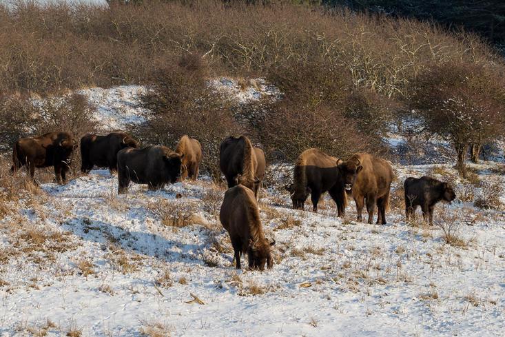Wisenten grazend in de sneeuw. Foto: Ruud Maaskant