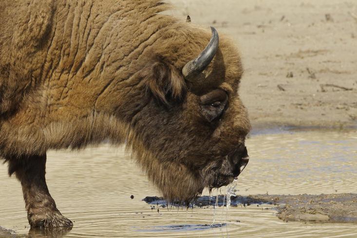 Podrwy drinkt water. Foto: Ruud Maaskant