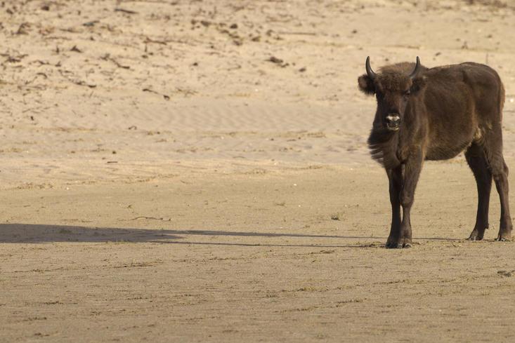 Wisent met schaduw in het zand. Foto: Ruud Maaskant