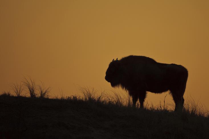 Wisent met zonsondergang. Foto: Ruud Maaskant